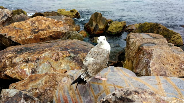 Wounded Gull Standing on a Rock video