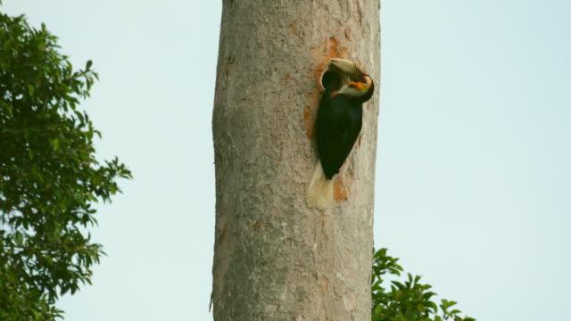 Wreathed Hornbill is feeding in a wooden jar on a tree.