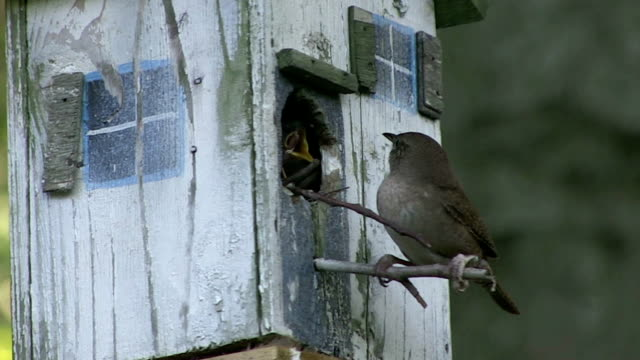 Wren feeding chicks in a birdhouse video