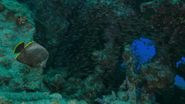 Wrought-Iron Butterflyfish swimming through glass fish colony Ogasawara Islands (Bonin Islands), Tokyo, Japan, 2016. (2016_0913_0920_09151355_1) wrought iron stock videos & royalty-free footage