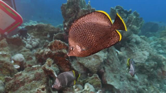 Wrought-Iron Butterflyfish (Chaetodon daedalma) Ogasawara Islands (Bonin Islands), Tokyo, Japan, 2016. (2016_0913_0920_09151339_1) wrought iron stock videos & royalty-free footage