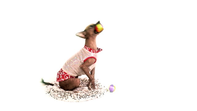 Xoloitzcuintli dog catches balls with his mouth