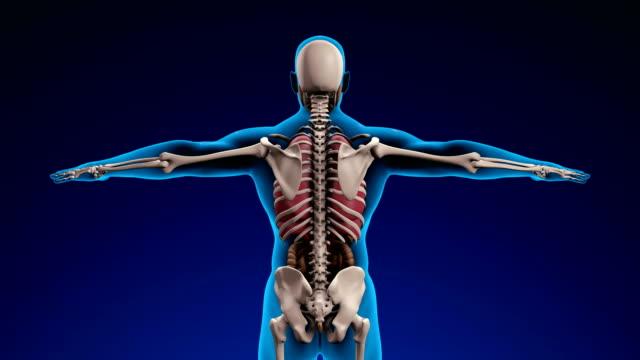 x 線の人間の骨格 - 単発 (アルファ チャネル) - 4 k - 人の筋肉点の映像素材/bロール