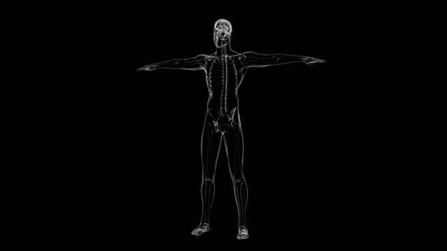 vídeos y material grabado en eventos de stock de radiografía de esqueleto humano | loopable - espalda partes del cuerpo