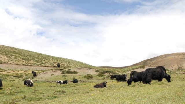 yak-weide - himachal pradesh stock-videos und b-roll-filmmaterial
