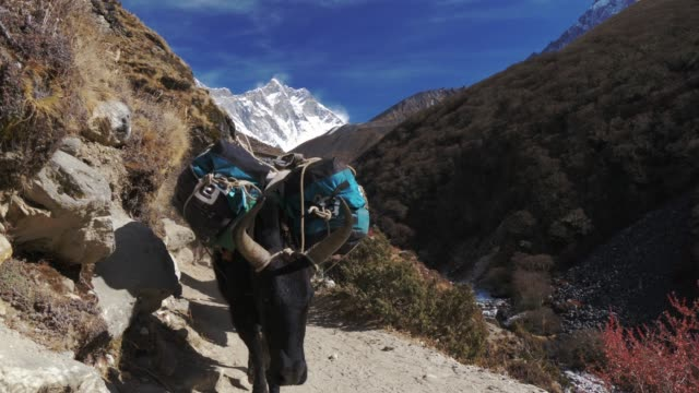 ヤクは、トレッキング遠征のため峠を越えて商品を転送します。ネパール ・ サガルマータ国立公園 - ネパール点の映像素材/bロール