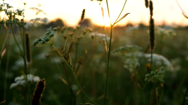 yarrow flowers in the rays at sunset in the countryside slow motion - vídeo