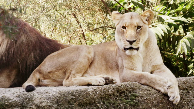 Yawning Lioness video