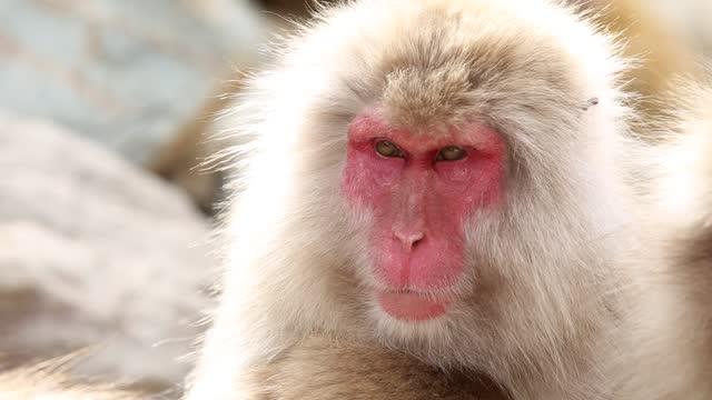 gäspande vild apa i bergen. - djurhuvud bildbanksvideor och videomaterial från bakom kulisserna
