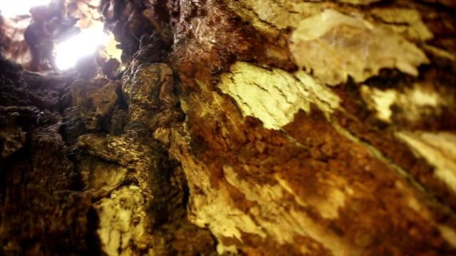 stockvideo's en b-roll-footage met 1000 jaar oude eik - schors