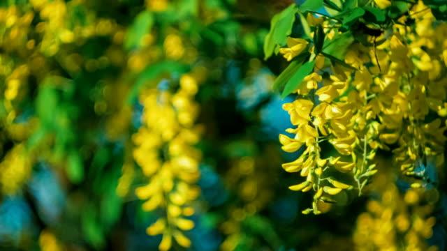 Yellow acacia blossom branch wind moving the hanging flowers stock yellow acacia blossom branch wind moving the hanging flowers stock video more clips of acacia tree 534010180 istock mightylinksfo