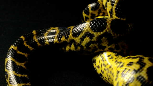 Yellow anaconda in knot video
