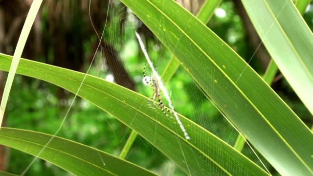gelb und schwarz, hawaiian garden spider aurantia, weben das internet - pflanzenbestandteile stock-videos und b-roll-filmmaterial