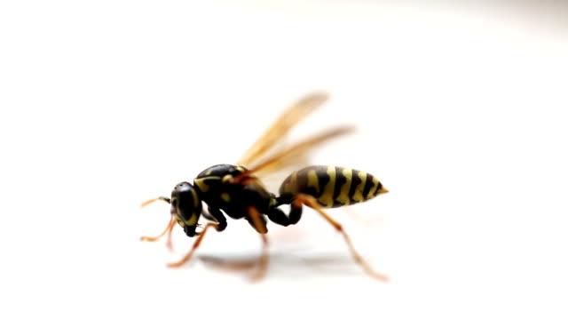 gelbe und schwarze wespe - wespe stock-videos und b-roll-filmmaterial