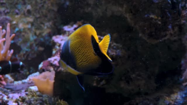 Yellow and blue angelfish swimming near coral video