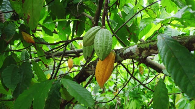 Yellow and green cocoa fruits grow on a tree in a plantation Organic chocolate production cultivated land stock videos & royalty-free footage