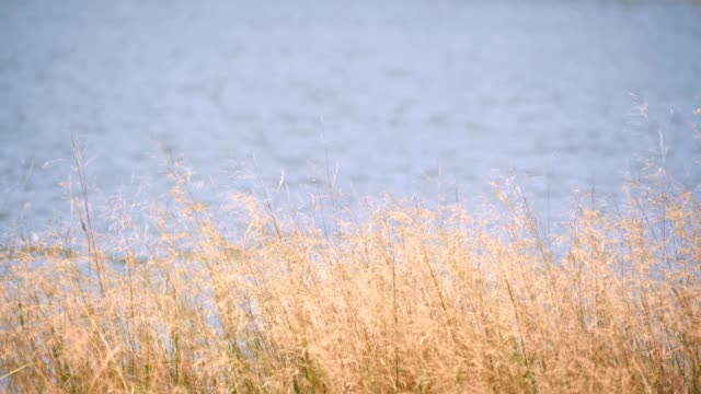 yellow and green grass beside the river or sea on the wind.slow motion footage.
