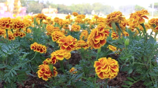 Yellow And Orange Field Of Marigold Flowers video