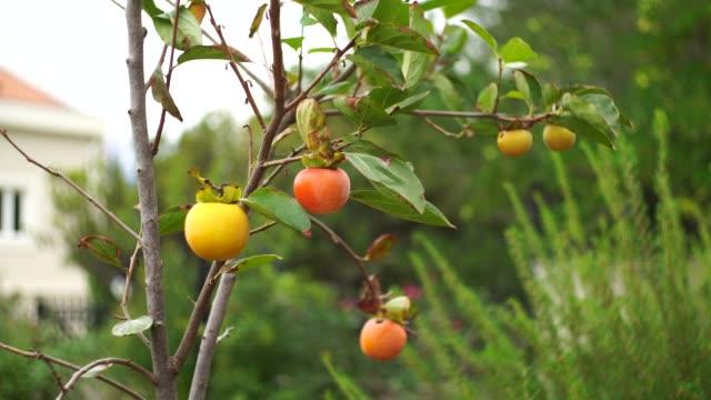 vídeos de stock e filmes b-roll de yellow and orange ripe persimmons on tree branches. - diospiro