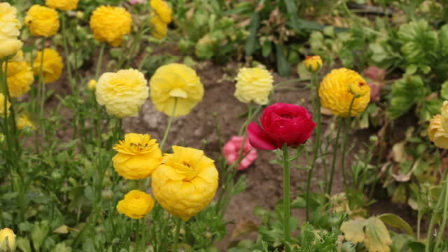 Yellow and red ranunculus blooming video