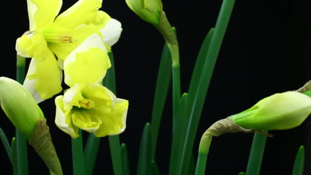 Yellow and white daffodil blooming video