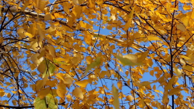 Yellow autumn leaves 1 video