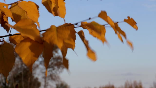 Yellow autumn leaves of birch video