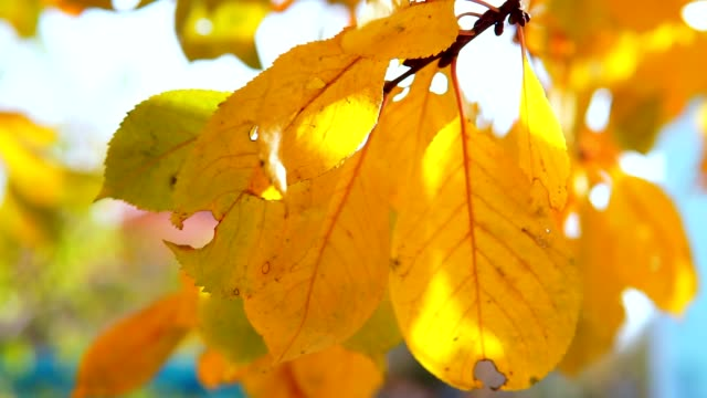 yellow autumn maple leaves close-up and soft focus - pianta vascolare video stock e b–roll