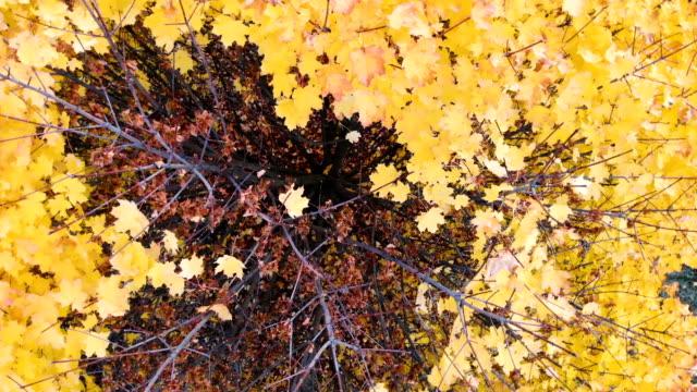 vídeos de stock, filmes e b-roll de amarelo, outono de árvore com folhas douradas caindo sozinho em um salário. tiro o drone. - setembro amarelo