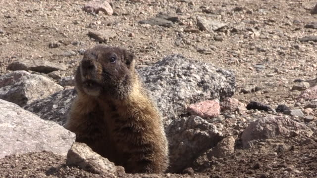 Yellow Bellied Marmot video