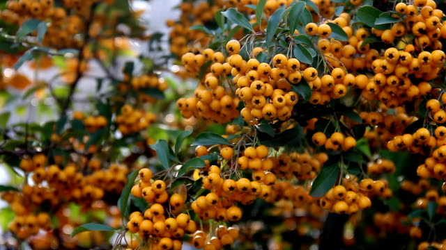 Yellow berries of orange colors sways from wind on branch video