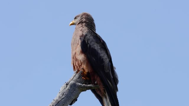 yellow billed kite on a tree branch in south africa. we can only see the blue sky in the background of the majestic bird - african bird in nature - appollaiarsi video stock e b–roll