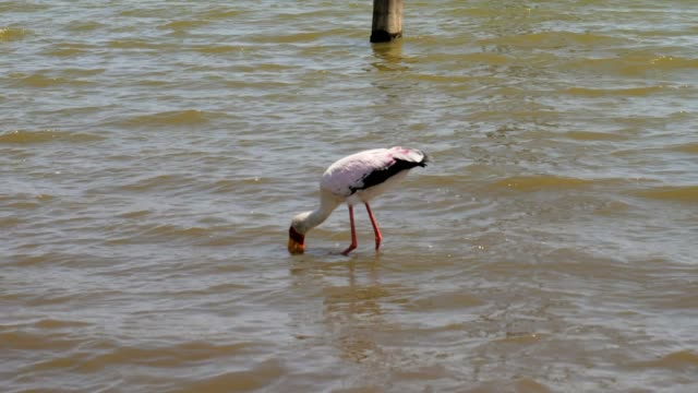 Yellow Billed Stork Looking For With His Beak In The Water The Fish