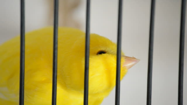 Yellow bird in a cage video