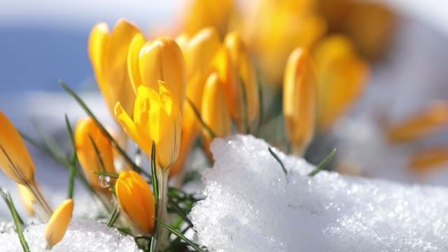 vidéos et rushes de crocus jaunes de floraison sur la neige dans le parc de la ville. tremble sur le vent, gros plan. des rayons du soleil. focus sélectif. vidéo de ralenti. - crocus