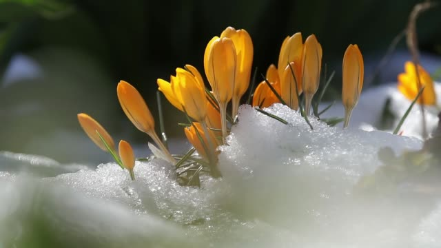 Yellow blooming crocuses on snow in city park. Tremble on the wind, closeup. Rays of the sun. Selective focus. 59.94 fps video video