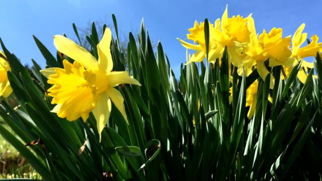 stockvideo's en b-roll-footage met geel bloeiende narcissen (narcíssus pseudonarcíssus). - fresh start yellow