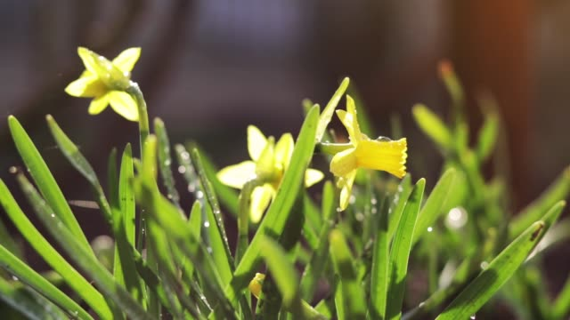 Yellow blooming daffodil with water drops in light breeze. Sunny day. It rains in sunny day. Low angle. Sunshine. Sunrise. Shallow depth of field. Yellow blooming daffodil with water drops in light breeze. Sunny day. It rains in sunny day. Low angle. Sunshine. Sunrise. Shallow depth of field. first occurrence stock videos & royalty-free footage