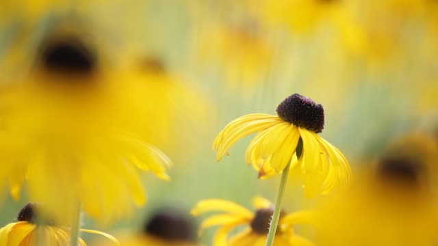 Yellow blossoms of a flower, rudbeckia hirta, swaying gently in the morning sun – selective focus