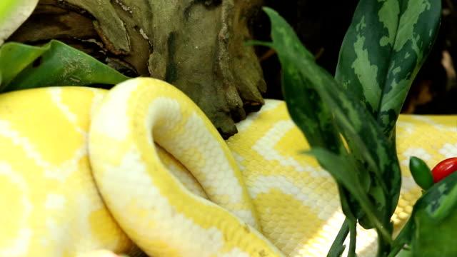 Yellow Boa video