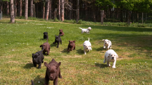 Yellow, Brown and Black Labrador Retriever, Puppies running on the Lawn, Normandy in France, Slow Motion 4K Yellow, Brown and Black Labrador Retriever, Puppies running on the Lawn, Normandy in France, Slow Motion 4K puppy stock videos & royalty-free footage