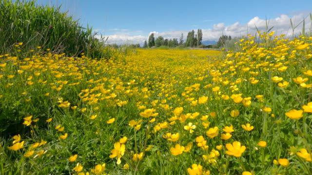 Yellow Buttercups Green Field 4K UHD