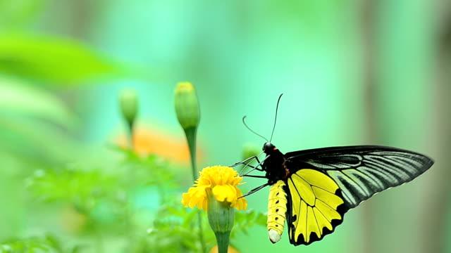 Yellow butterflies eat flower pollen video
