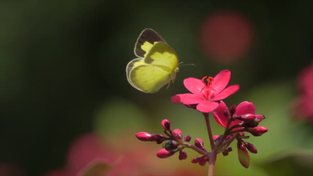 Yellow Butterfly On Pink Flower Super Slow Motion