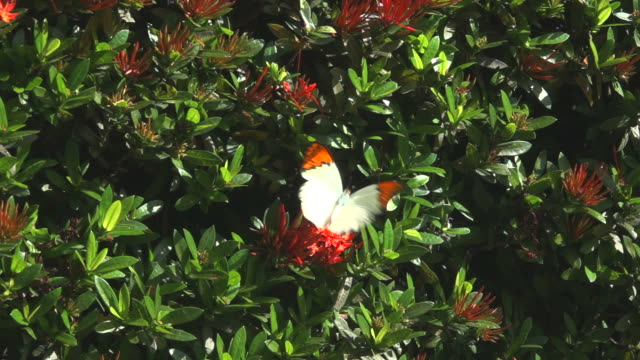 Yellow Butterfly On Red Flower Slow Motion