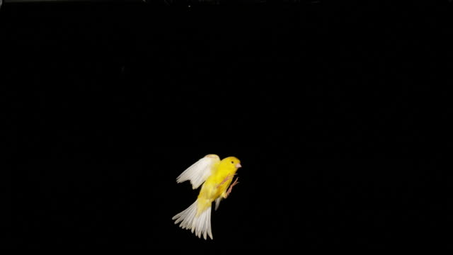 Yellow Canary, serinus canaria, Adult in flight against Black Background, Slow Motion 4K