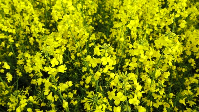 Yellow canola field at sunny day, Slow motion video