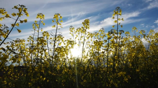 Yellow canola field at sunny day video