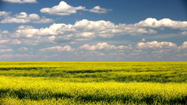 Yellow Canola Field In Bloom Canola field in bloom with yellow flowers in the Canadian prairies in Alberta, Canada. horizon over land stock videos & royalty-free footage