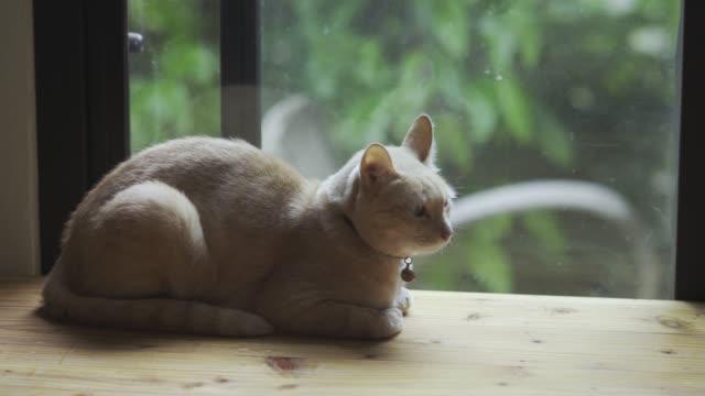 窓の近くに座っている黄色い猫。 - ふわふわ点の映像素材/bロール